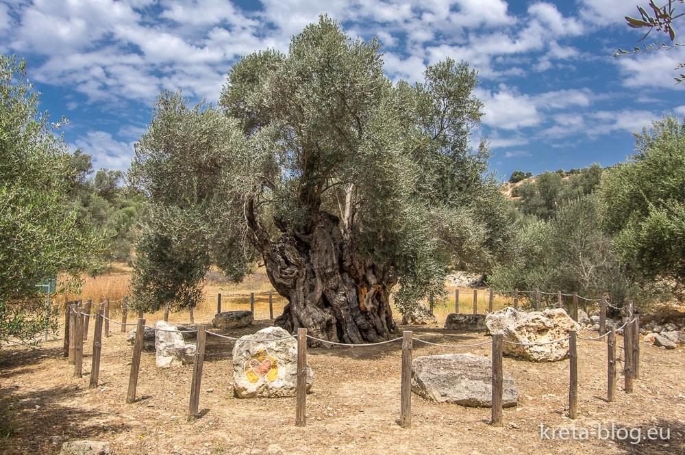 Olivenbaum in Kamilari im Süden Kretas, ca. 2800 Jahre alt