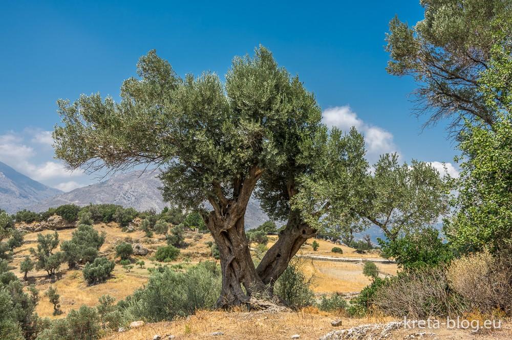 Olivenbaum im Süden Kretas