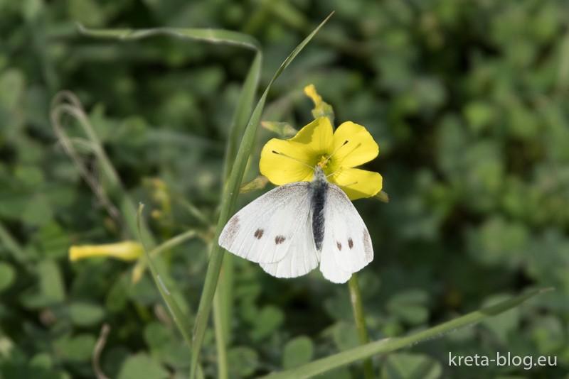 Nickender Sauerklee samt Schmetterling