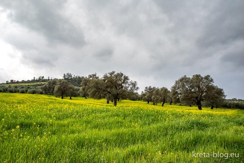 Olivenhain mit nickendem Sauerklee