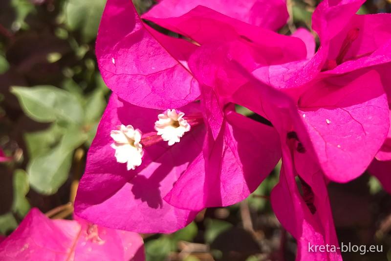 Bogainvillea - die echten Blüten