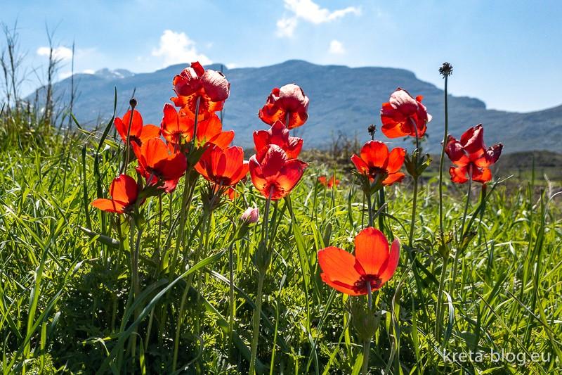 Rote Anemonen auf Kreta, typische Frühlingsboten