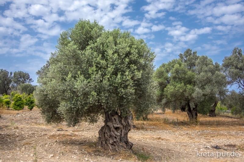 Oliven kamilari 5782